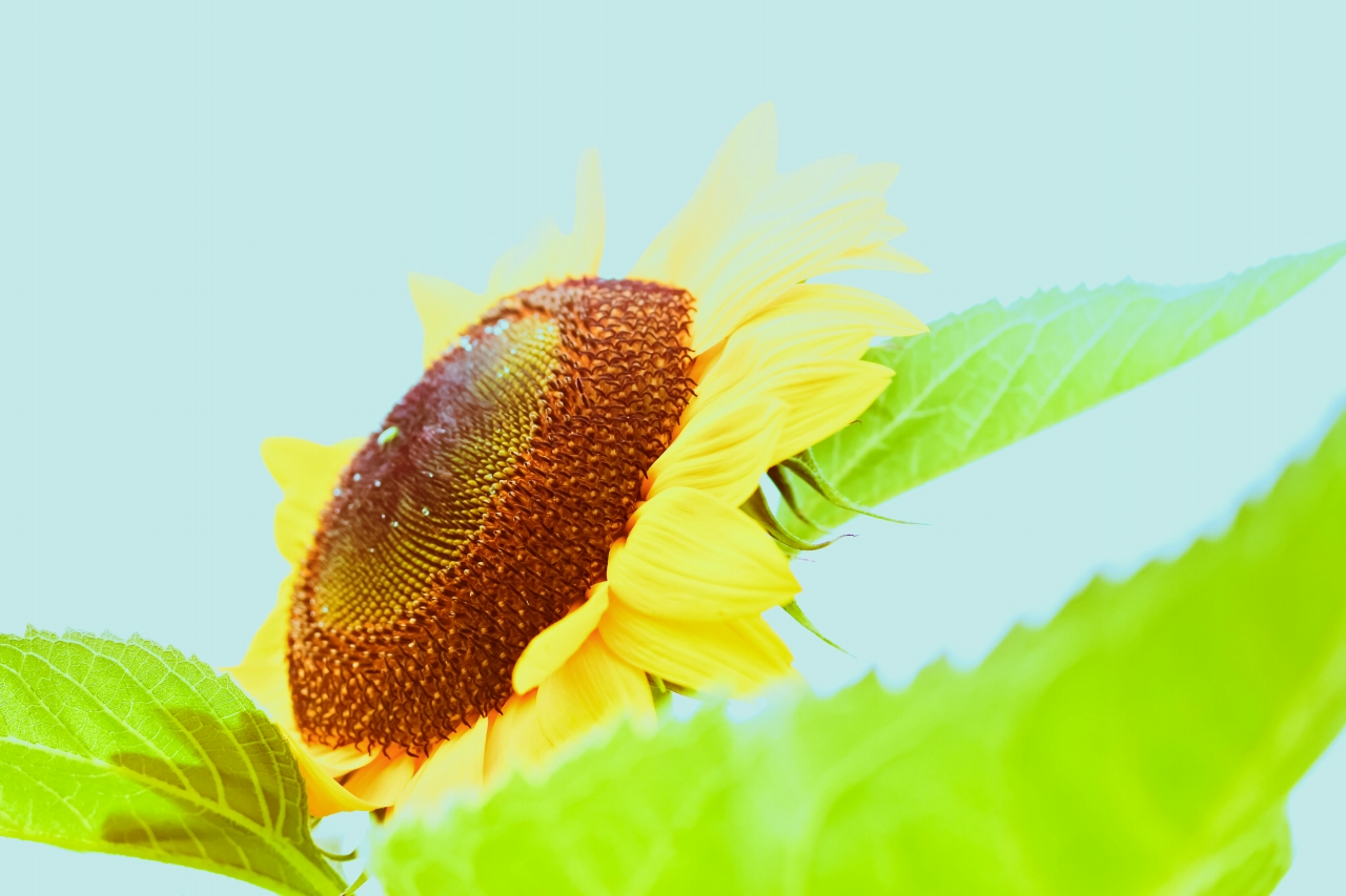 sunflower-k.jpg
